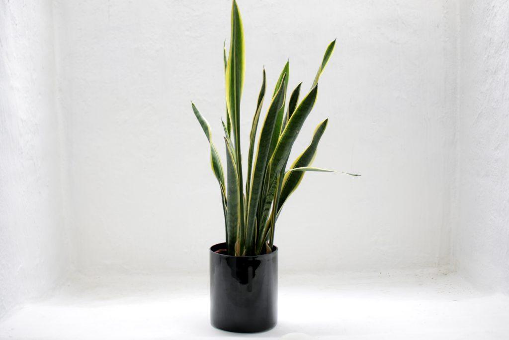 tanaman lidah mertua - Rumah123.com