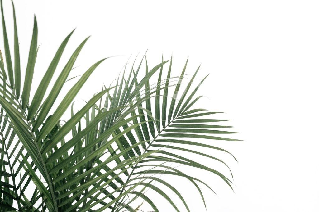tanaman hias daun palem kipas - Rumah123.com