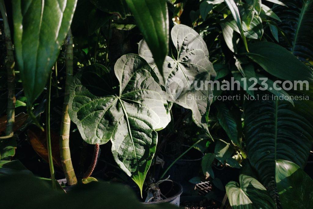 Tanaman hias daun anthurium macrolibium - Rumah123.com