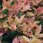 10 Manfaat Tanaman Pucuk Merah untuk Tubuh & Lingkungan