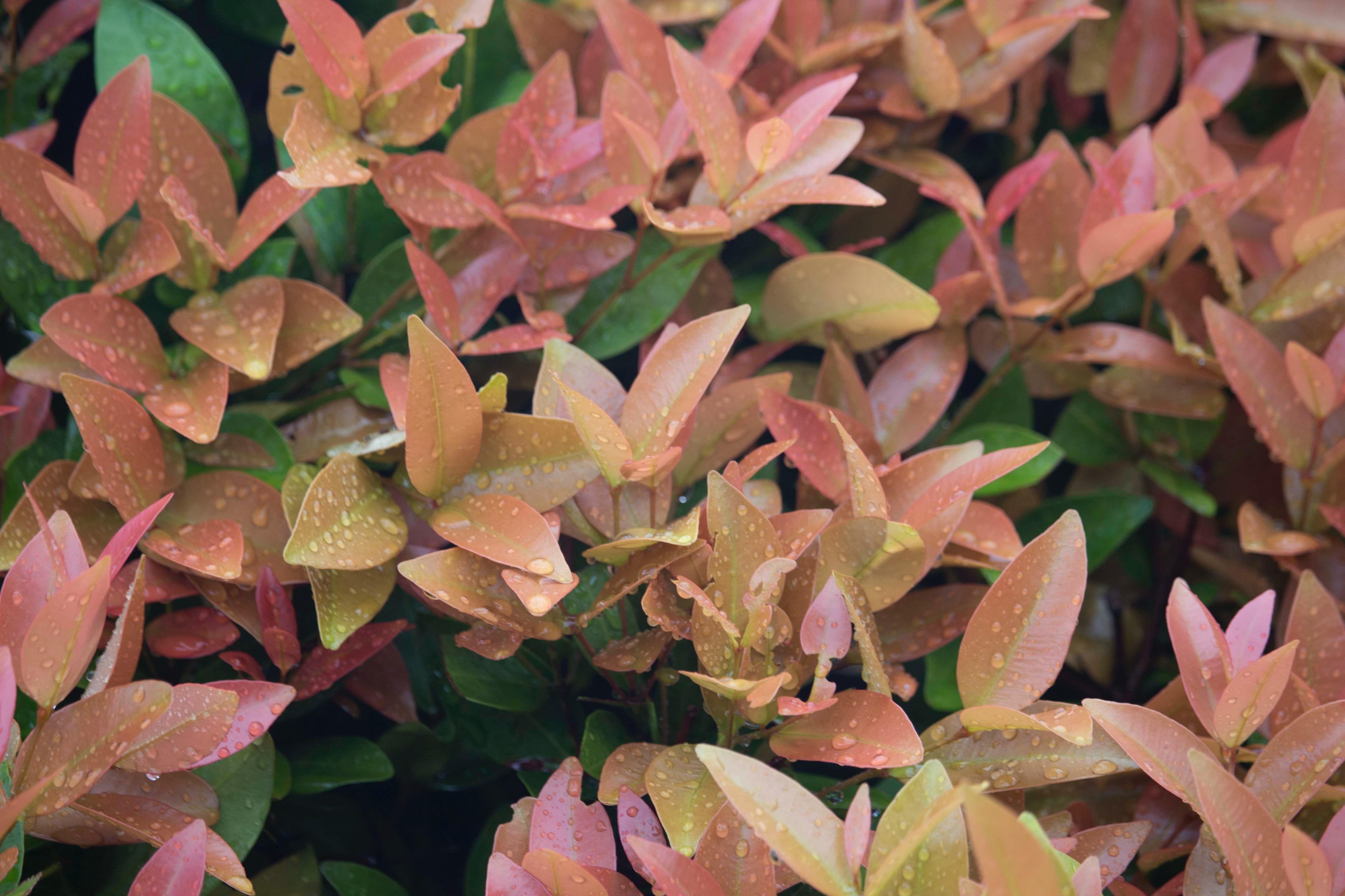 10 Manfaat Tanaman Pucuk Merah Untuk Tubuh Lingkungan Rumah123 Com