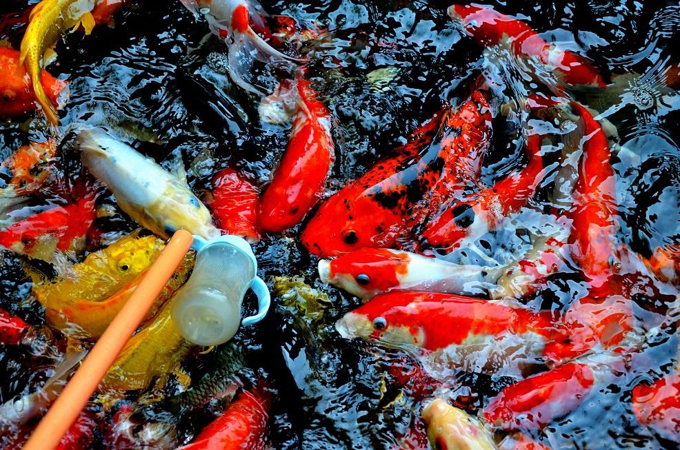 cara memelihara ikan koi