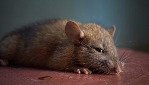 3 Jenis Tikus yang Ada di Rumah, Kenali dan Basmi Langsung Ke Habitatnya!
