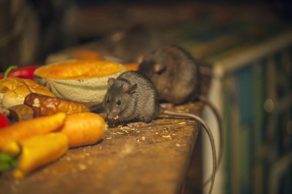 jenis tikus - rumah123.com