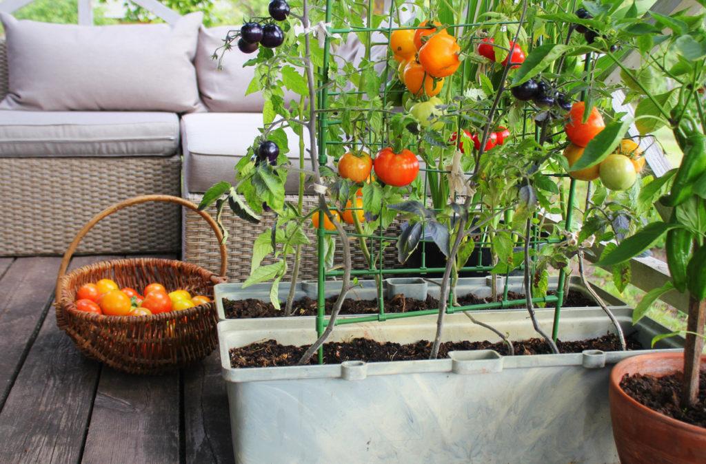tanaman sayuran dalam pot - rumah123.com