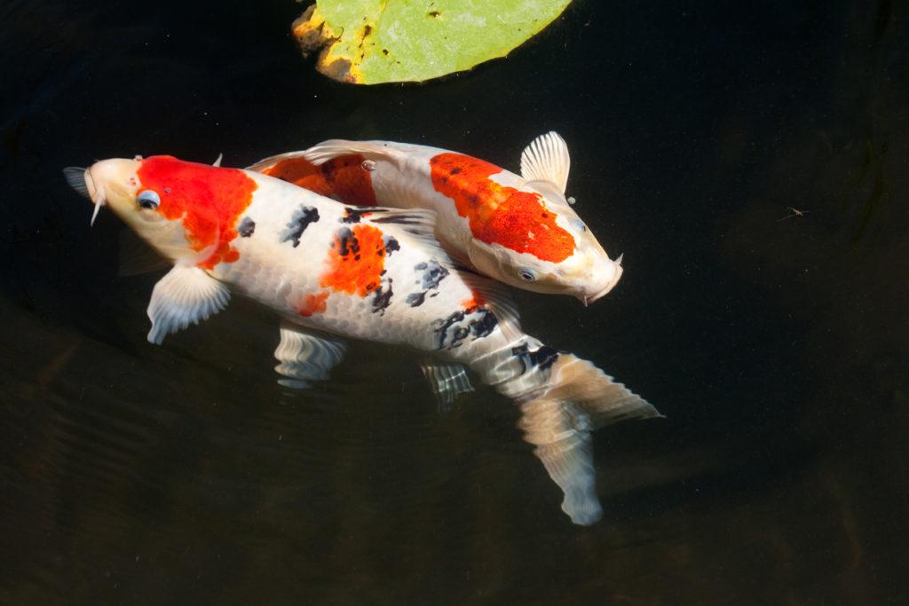 Ikan koi di dalam kolam