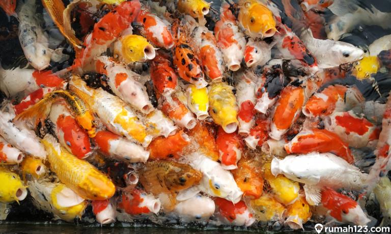 7 Jenis Ikan Koi Termahal di Dunia, Kamu Wajib Tahu!