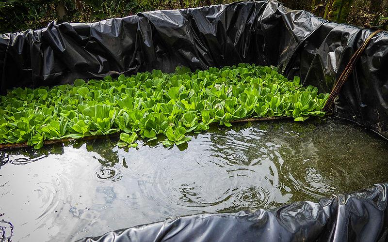 tanaman kolam