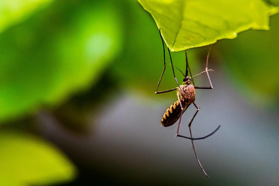 daur hidup nyamuk