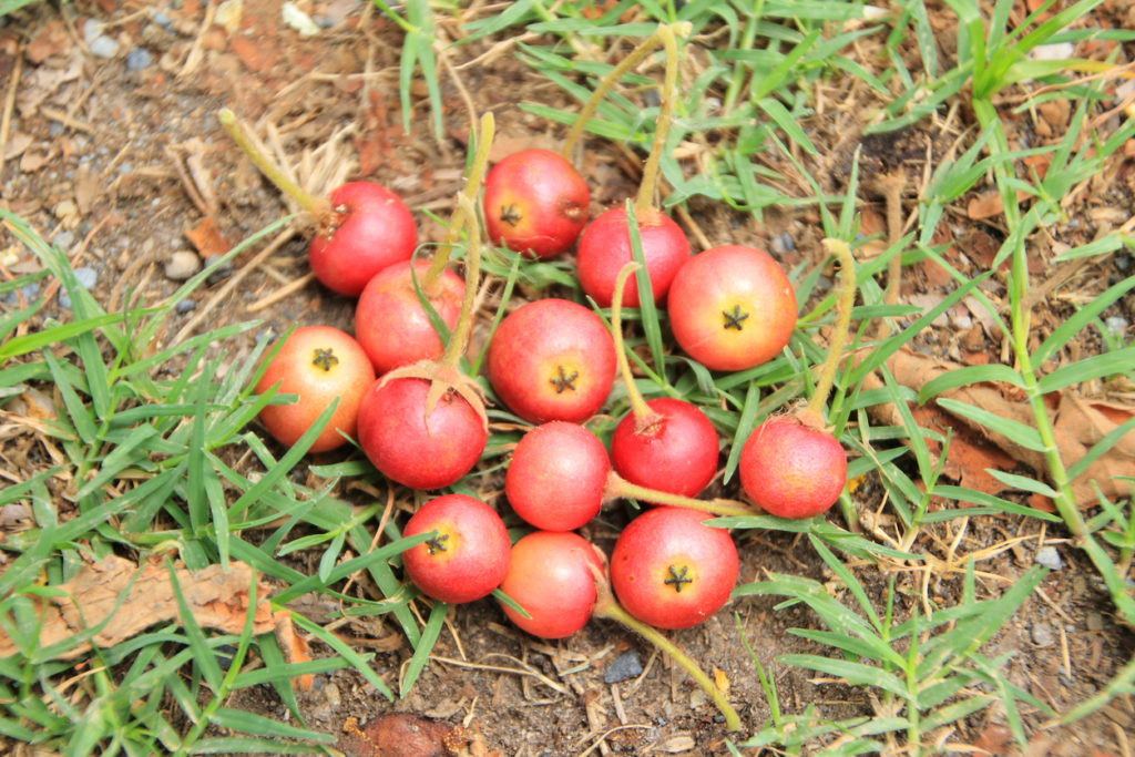 buah kersen
