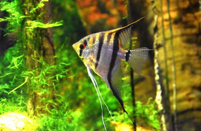 ikan aquascape angelfish