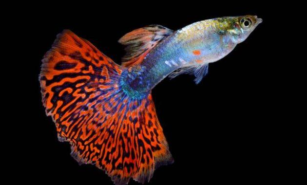 ikan aquascape guppy