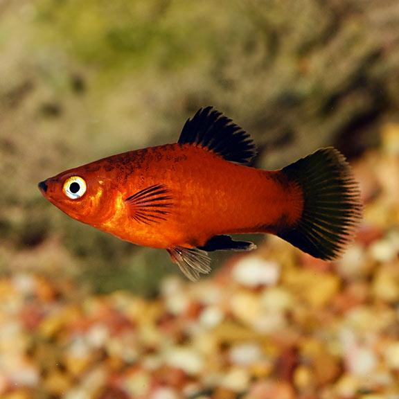 ikan aquascape platy