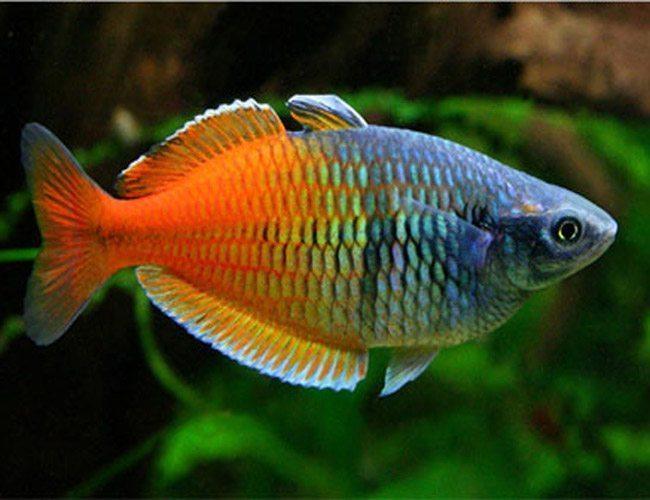 ikan aquascape Boesemani Rainbowfish