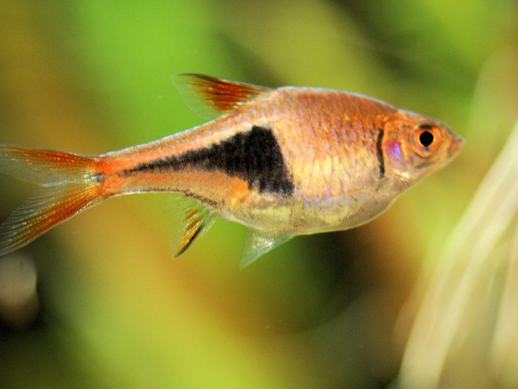 ikan aquascape Harlequin Rasbora