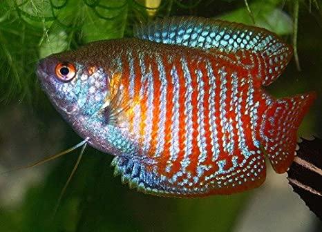 ikan aquascape Dwarf Gourami
