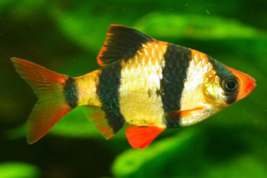ikan aquascape Tiger Barb