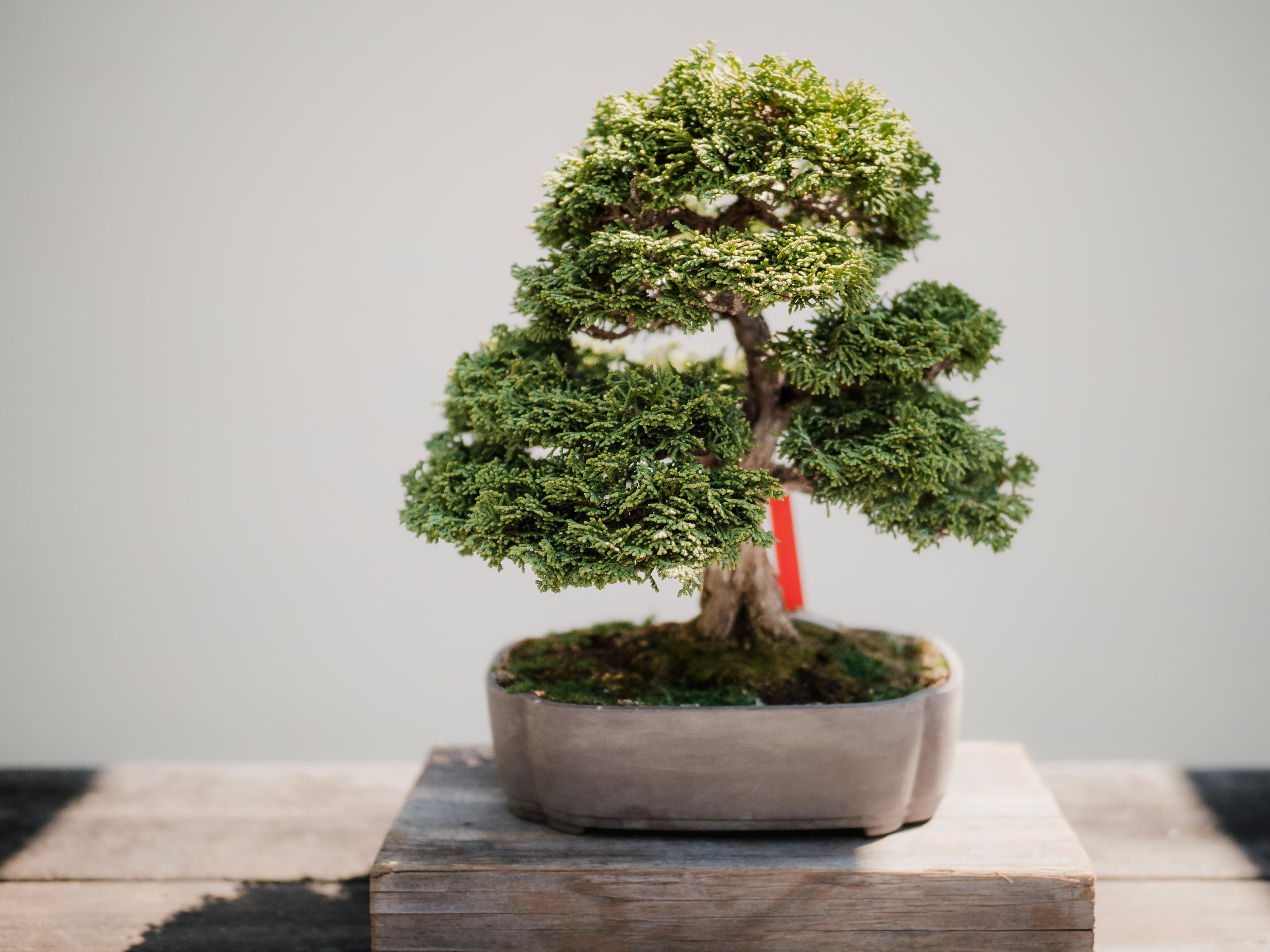 Cara Tips Sukses Membuat Bonsai Beringin Di Rumah Untuk Pemula Rumah123 Com