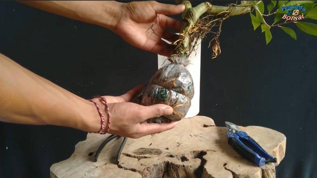 bonsai beringin