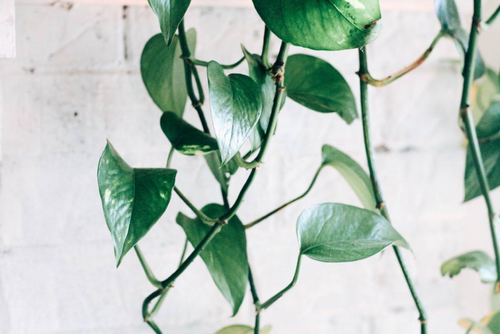 tanaman merambat