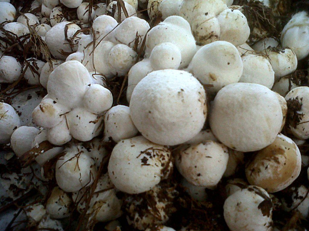 jamur merang