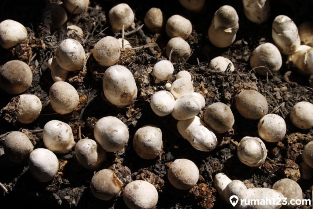budidaya jamur merang