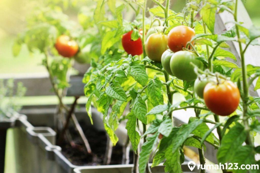 menanam tomat di rumah