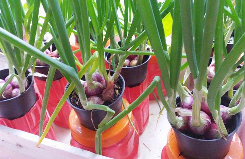 menanam bawang merah di polybag
