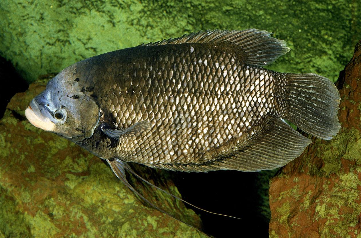 Panduan Budidaya Ikan Gurame Di Rumah Bisa Raup Puluhan Juta Sekali Panen Rumah123 Com