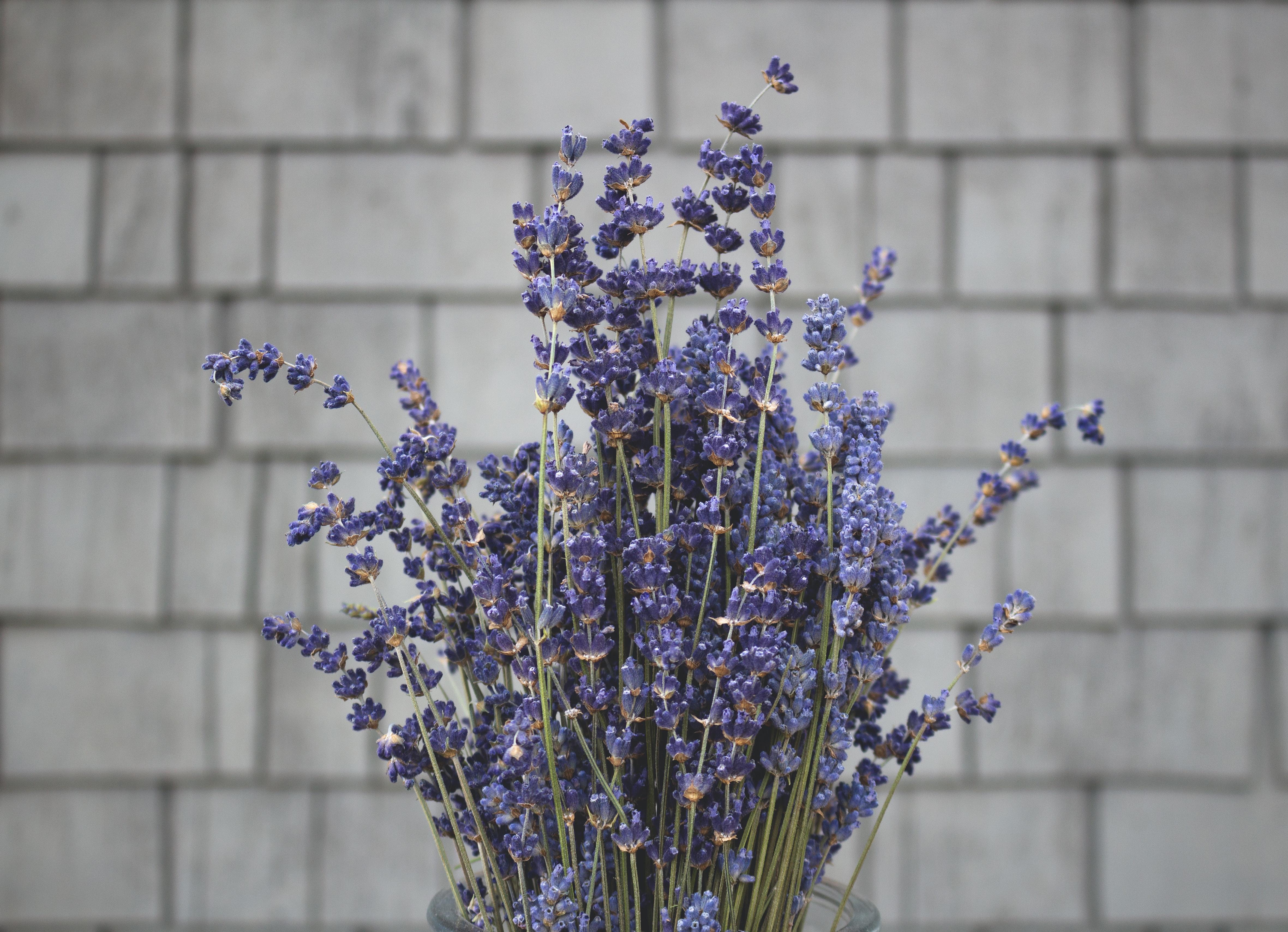 6 Fakta Menarik Tanaman Lavender, Bisa Meredakan Depresi Hingga Mencegah Kanker
