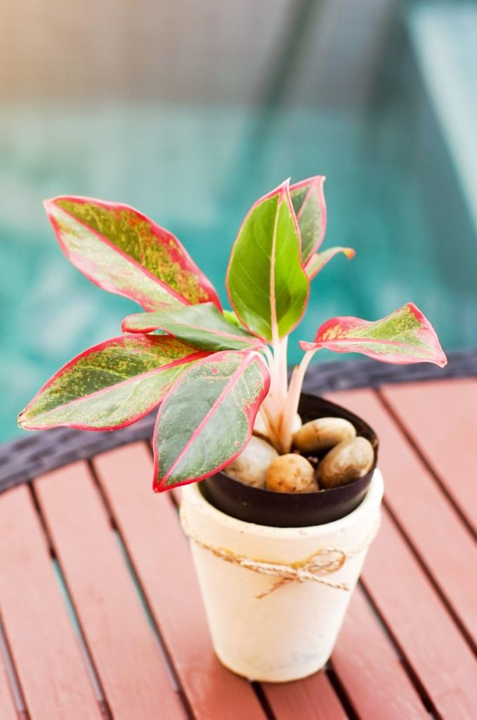 tanaman dalam rumah aglaonema merah