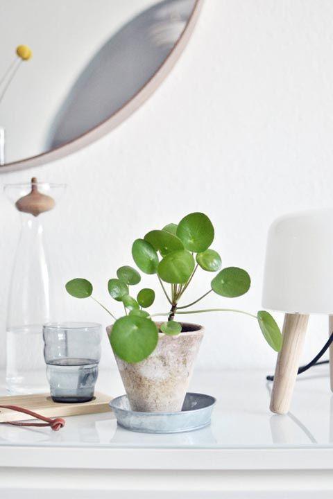 tanaman dalam rumah pilea