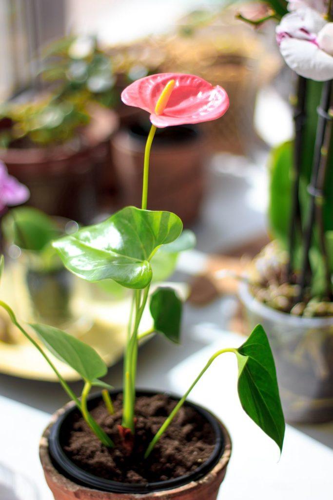 tanaman dalam rumah anthurium