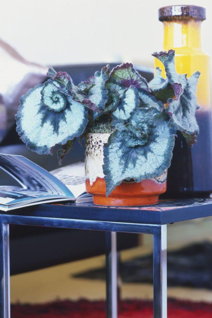 tanaman dalam rumah begonia