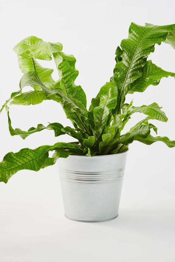 tanaman dalam rumah pakis buaya