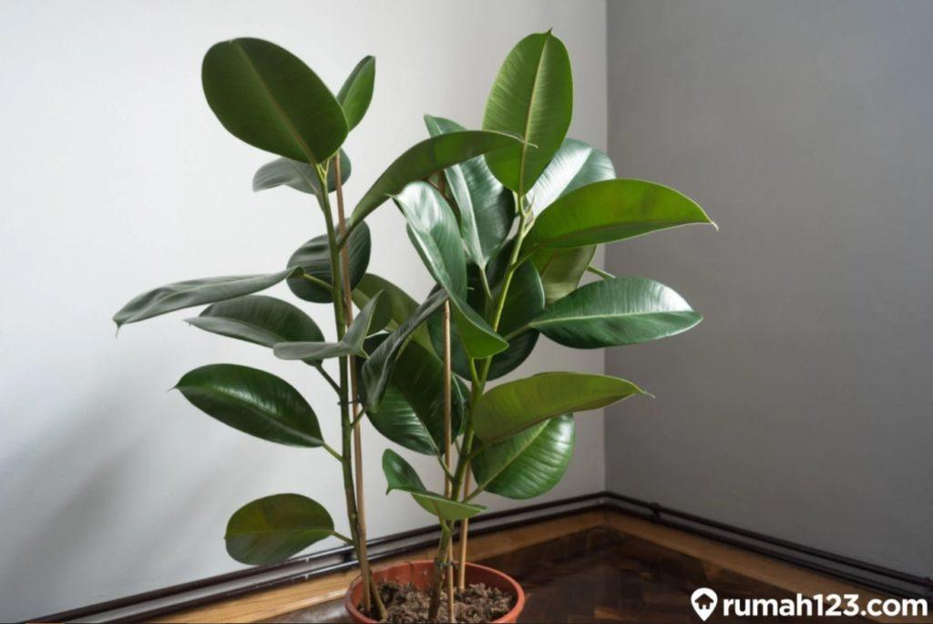 tanaman dalam ruangan tanaman kebo karet