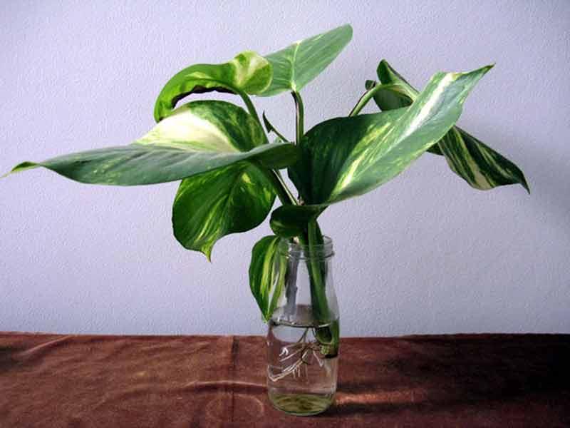 tanaman sirih gading
