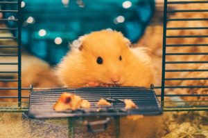 9 Cara Merawat Hamster di Rumah | Hewan Peliharaan Bisa Tumbuh Sehat