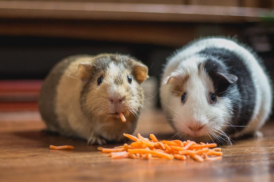 9 Cara Merawat Hamster Di Rumah Hewan Peliharaan Bisa Tumbuh Sehata Rumah123 Com