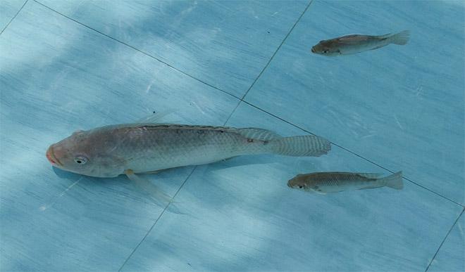 indukan ikan mujair