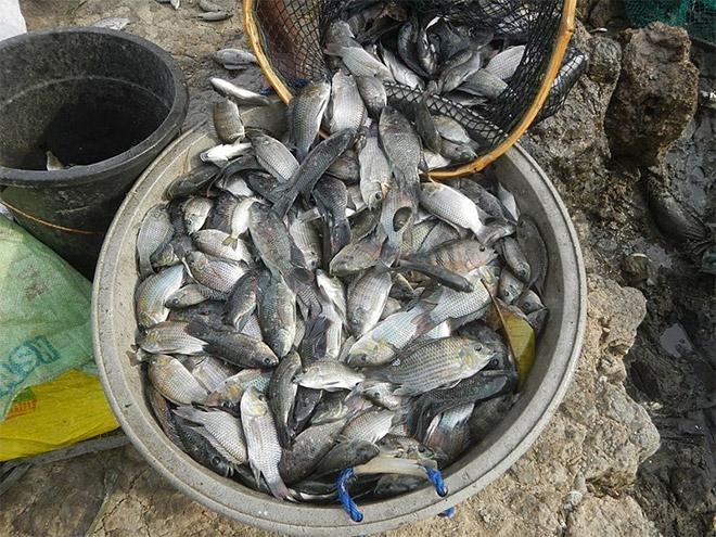 memanen ikan mujair