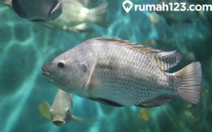 5 Langkah Mudah Budidaya Ikan Mujair di Kolam Terpal