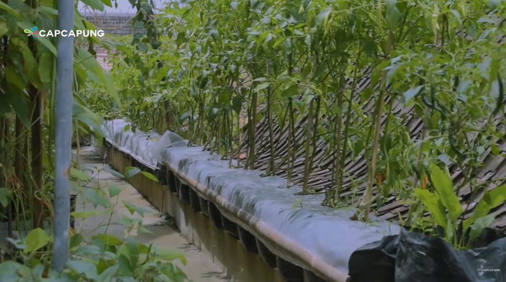 tanaman cabai
