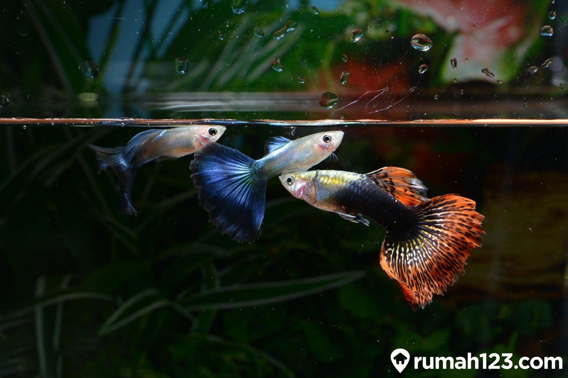Ingin Memelihara Ikan Guppy Perhatikan Dulu Aturan Ini Rumah123 Com