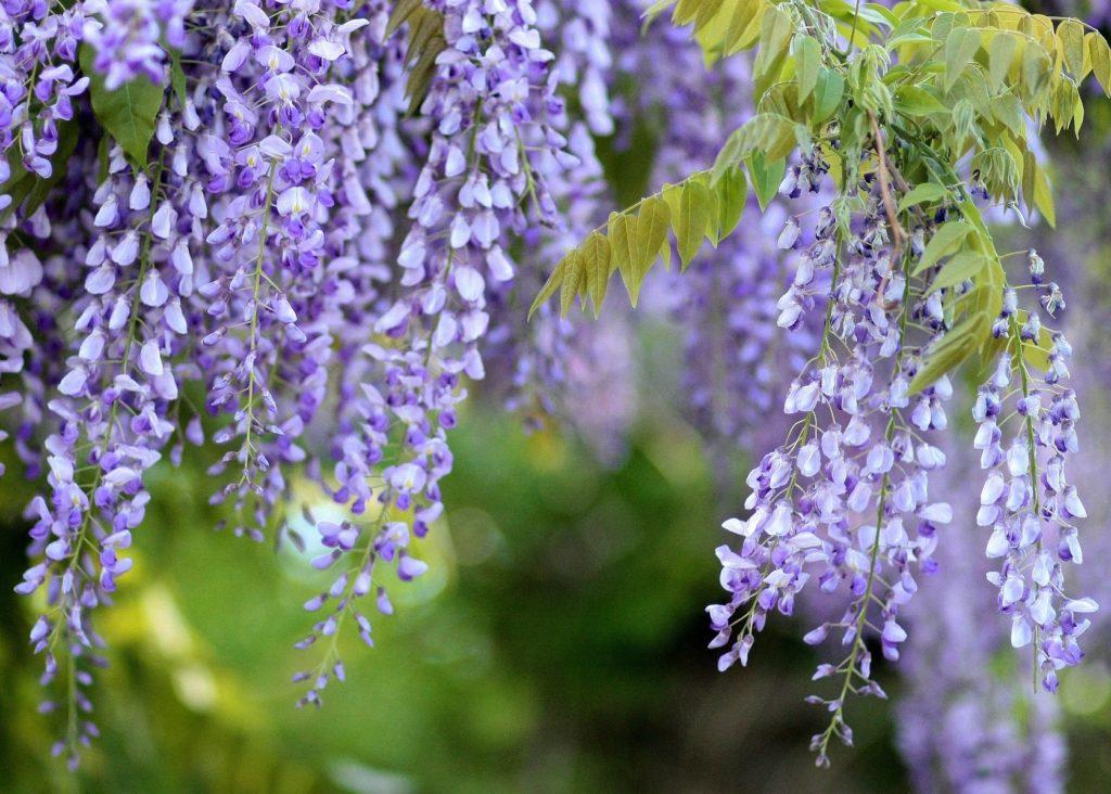 tanaman beracun wisteria