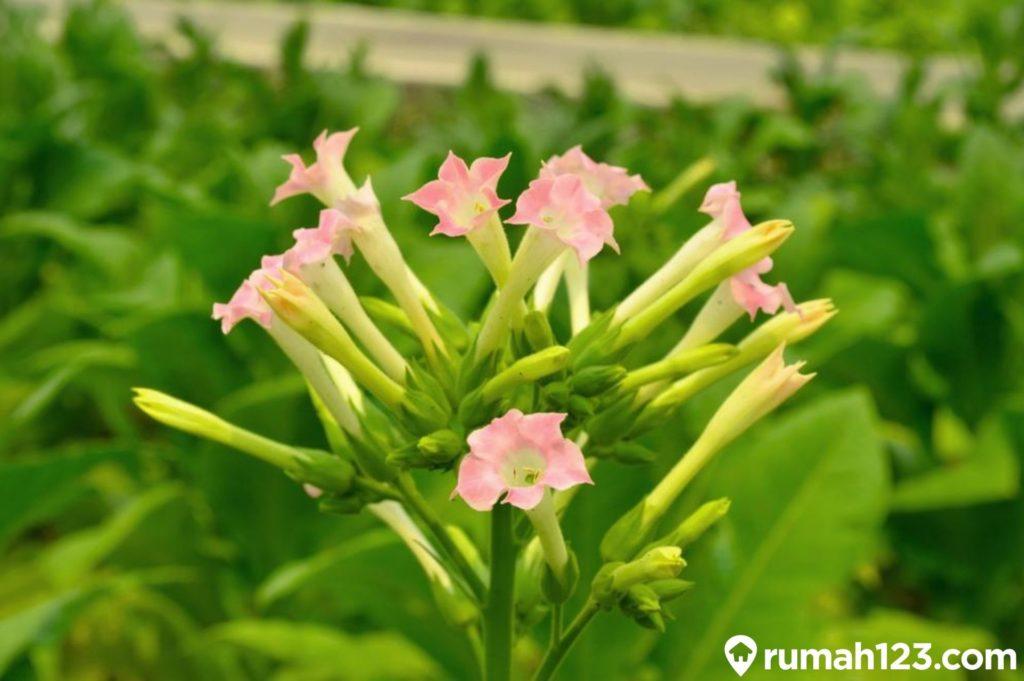 tanaman beracun Nicotiana tabacum