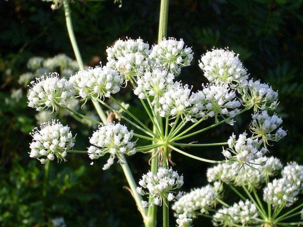 tanaman beracun conium maculatum