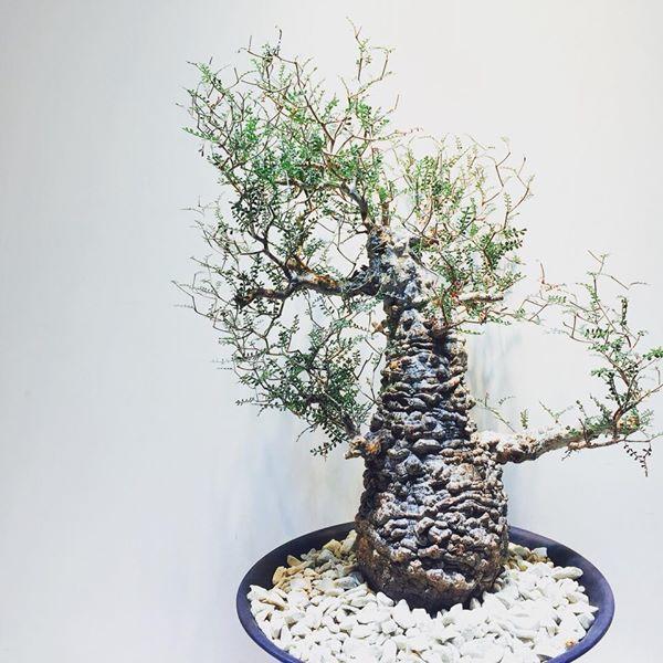 harga tanaman hias operculicarya pachypus