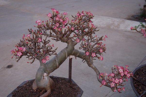 harga tanaman hias Adenium Socotranum