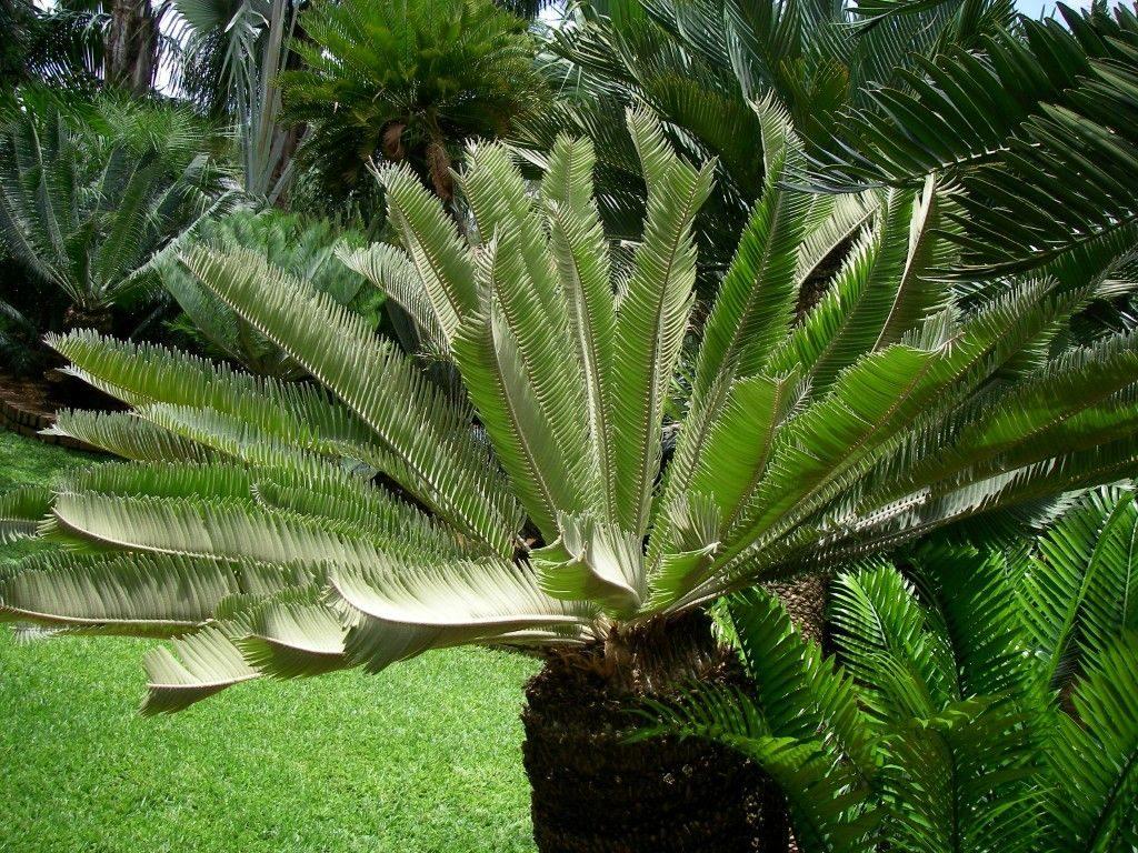 harga tanaman hias encephalartos brevifoliolatus